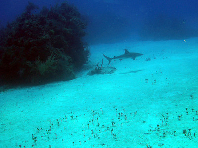 Our first dive and look what came to greet us . . . a 5' Caribbean Reef Shark