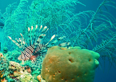 The lionfish were everywhere.  Local Dive Masters are now killing them as fast as they find them and leaving them on ocean floor for the fish population to feed on - no prisoners.