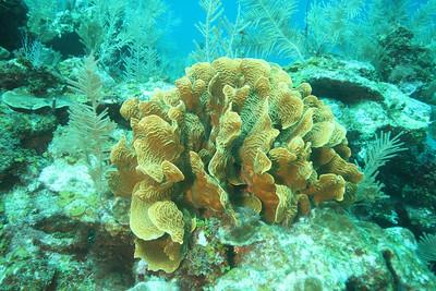 Thin-leaf lettuce coral