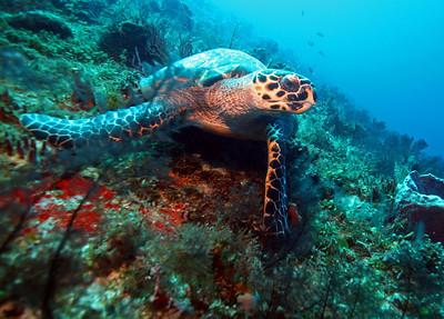 Hawkbill turtle in Cozumel