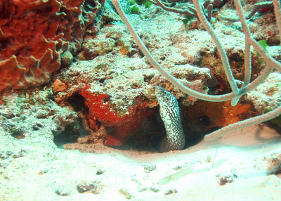Spotted moray in Cozumel