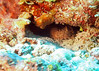 Spotted scorpionfish in Roatan - as best asI can tell