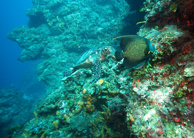 Hawkbill turtle and french angelfish