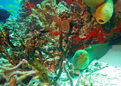 Green moray in Cozumel