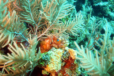 Balloonfish hiding in some soft coral