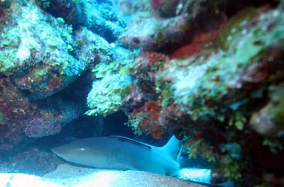 5-foot nurse shark with sharksucker (remora) locked-on in Roatan