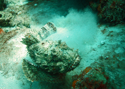 Another scorpionfish.  Actually located a dozen, or so, of these.  Either my eyesight is getting better, or they're not hiding as well.