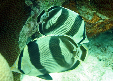A couple of banded butterflyfish.