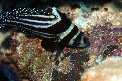 Adult drumfish