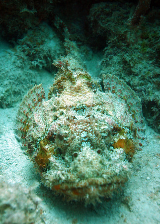 Spotted Scorpionfish.
