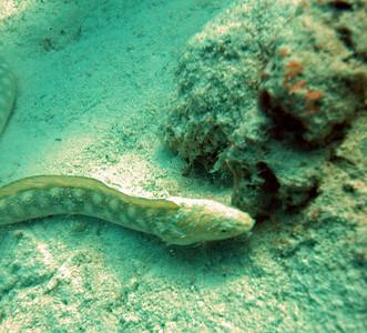 Sharp-Tailed Eel.
