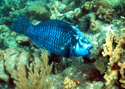 The somewhat rare Midnight Parrotfish.