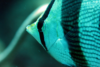 Banded Butterflyfish.  Up close and personal.