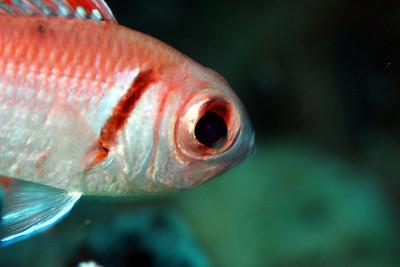 The Blackbar Soldierfish
