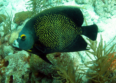 The French Angelfish
