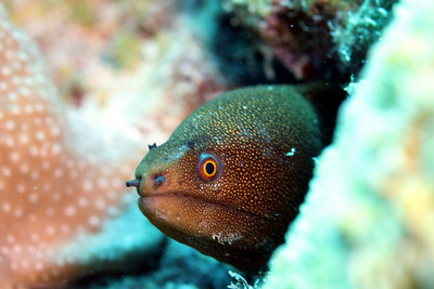 The Goldentail Moray