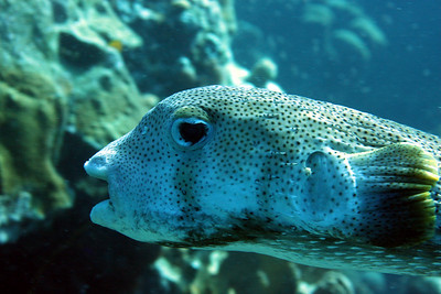 The Porcupinefish.  Technically, not a Balloonfish, although many people call it that.