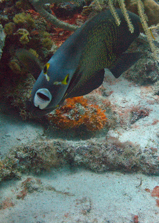 French Angelfish doing his Al Jolsen impression . . . Oh Mammy.