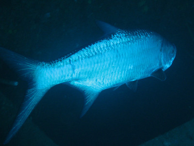 Tarpon in the bowels of the Hilma Hooker