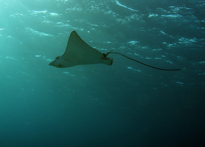Eagle Ray happened by in the shallows