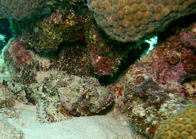 Another well camoflaged Stonefish