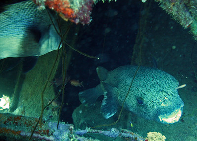 A very, very large puffer fish at home under the La Machaca
