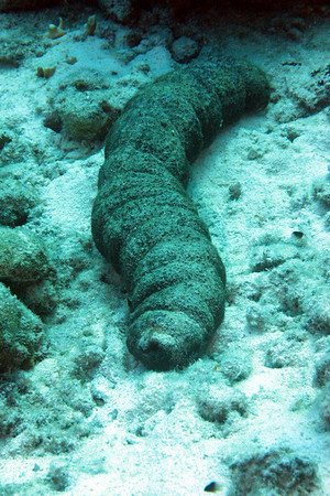 Three-Rowed Sea Cucumber in a different color variation.