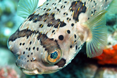 Balloonfish, also called  a Spiny Puffer