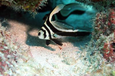 Juvenile Spotted Drumfish