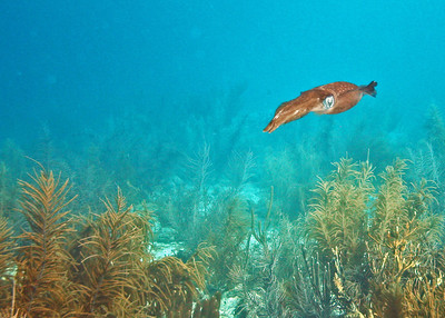 Caribbean Reef Squid or Grass Squid?