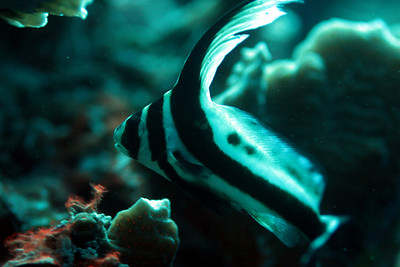 Juvenile spotted-drumfish
