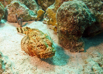 Another scorpionfish