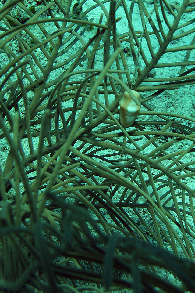 A flamingo-tongue attached to some soft coral