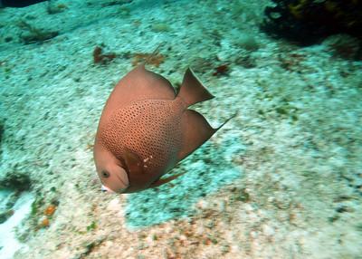 Gray angelfish.  The flash gave it the orange cast.