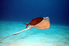 Southern Stingray with a Jack hitching a ride topside