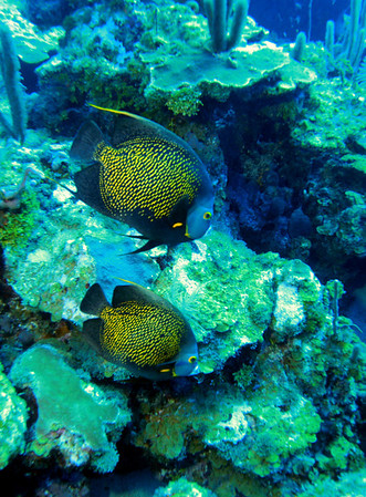 A couple of French Angelfish