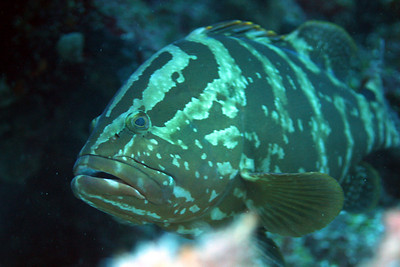 Here's looking at you, babe.  Grouper.