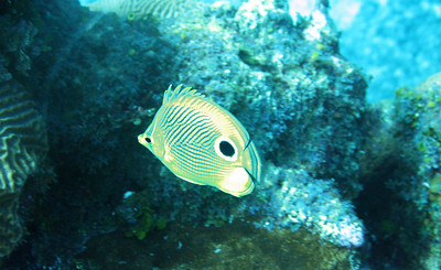 Four Eye Butterflyfish