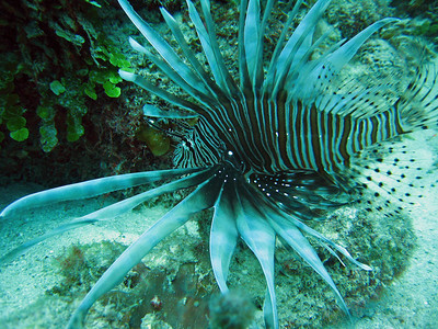 Another of our Lion Fish friends.  We eventually quit photographing them, there were so many.