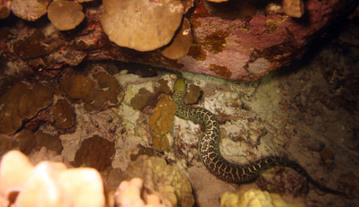 Undulated Moray Eel about to get a late night snack - just to the eel's left, under the rock