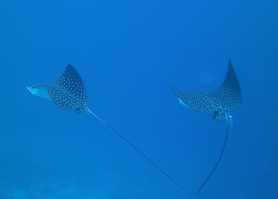 Spotted Eagle Rays at 125 feet