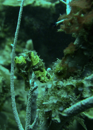 Seahorse @ Blue Channel Site
