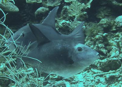 A Pair of Ocean Triggerfish