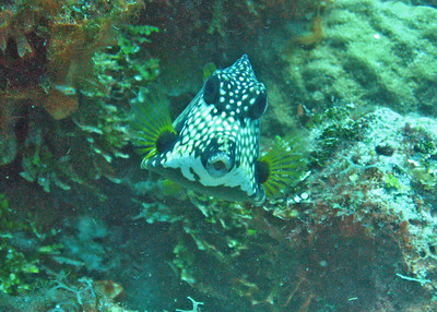 Spotted Trundfish