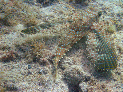 A Flying Gurnard off the town pier, maybe 20' depth