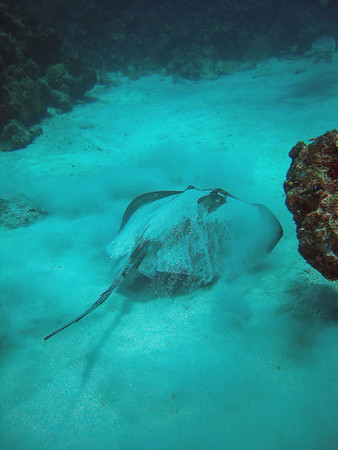 A Southern Sting Ray leaving his 'spot' and moving on down the road.