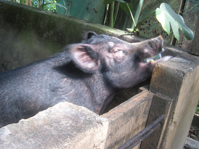 Bubba, one of the 3 beer swigging hogs out back.  For $1.00 a can you can feed him the whole unopened can and he'll do the rest . . .