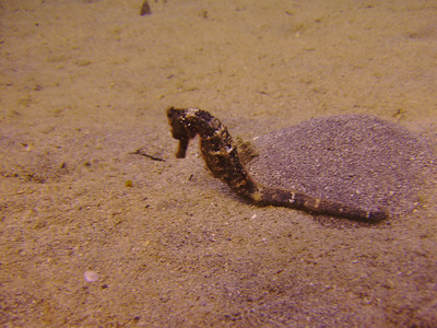 Seahorse moving slowly across the sand