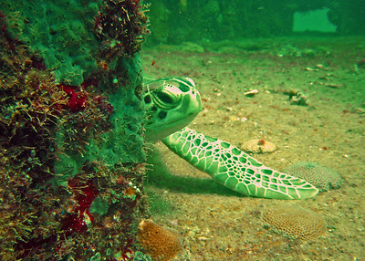 Peek-a-boo with a green turtle