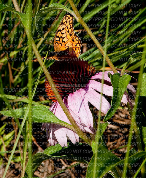 Butterfly at Rest by D Jerome Smedley
